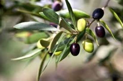 Маслинови дръвчета