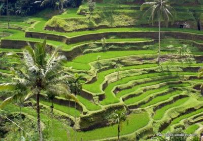 Терасовидните оризища в Тегалаланг са любимо място за снимки